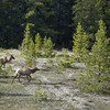 Elk in Yoho National Park